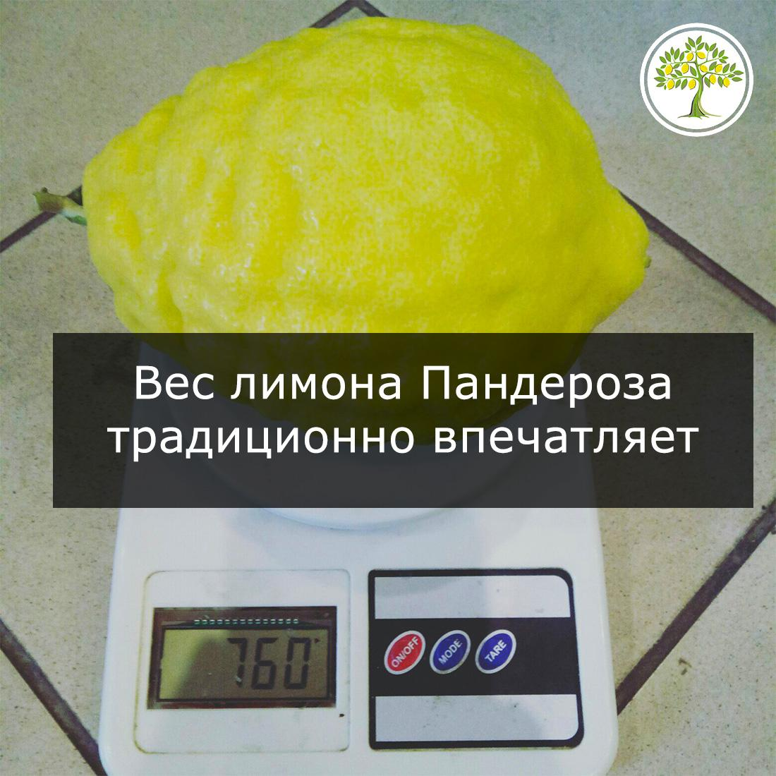 Лимон пандероза вес фото