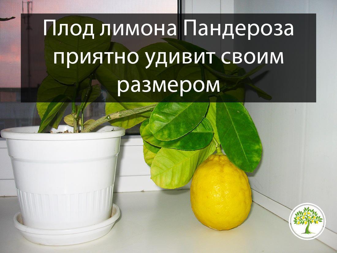 Лимон Пандероза дерево на окне с лодом