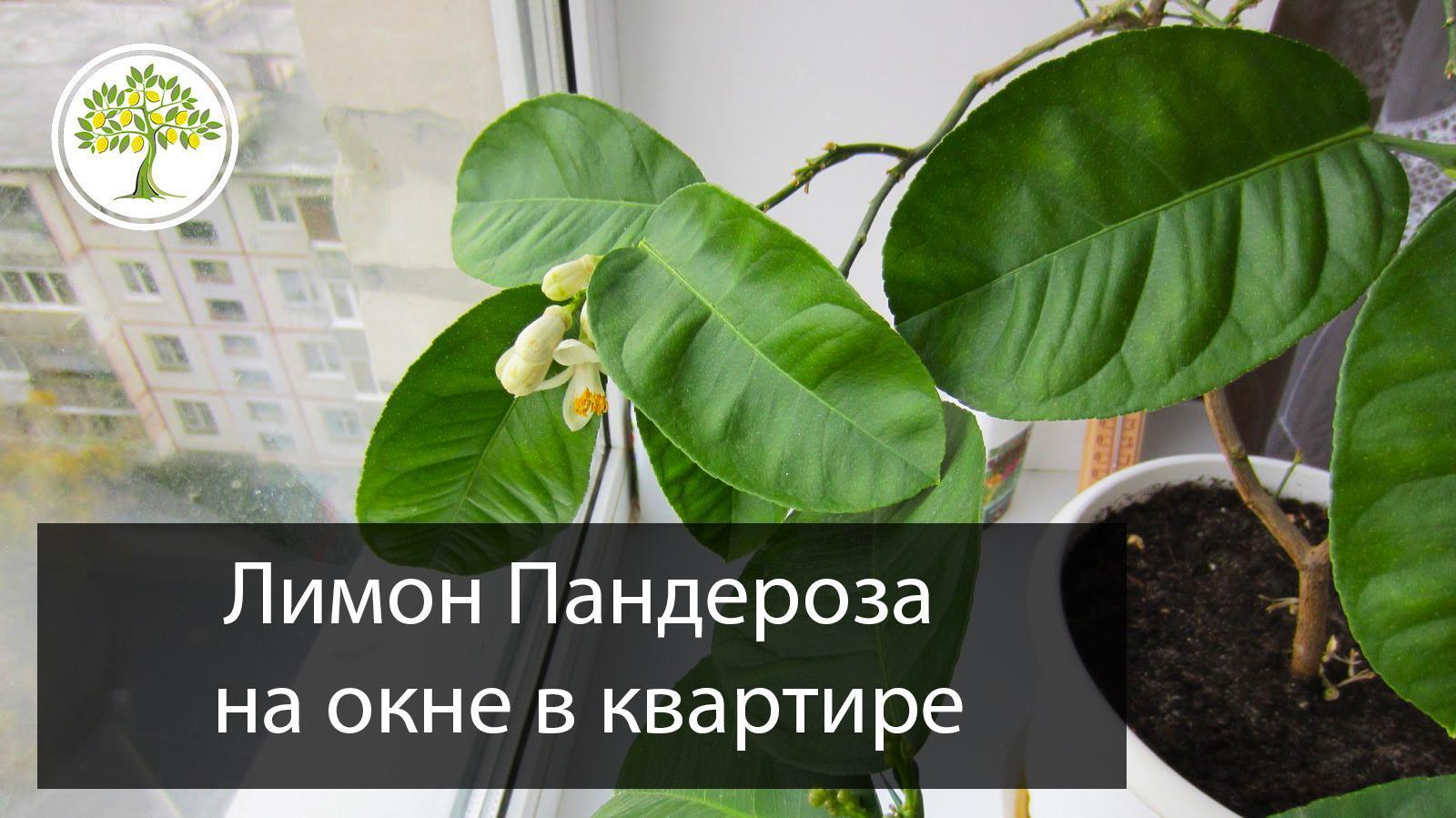 Лимон пандероза цветет дома фото