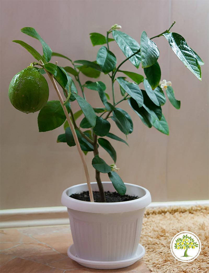Лимон юбилейный дерево в комнате