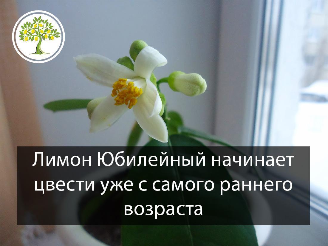 Лимон юбилейный с цветком
