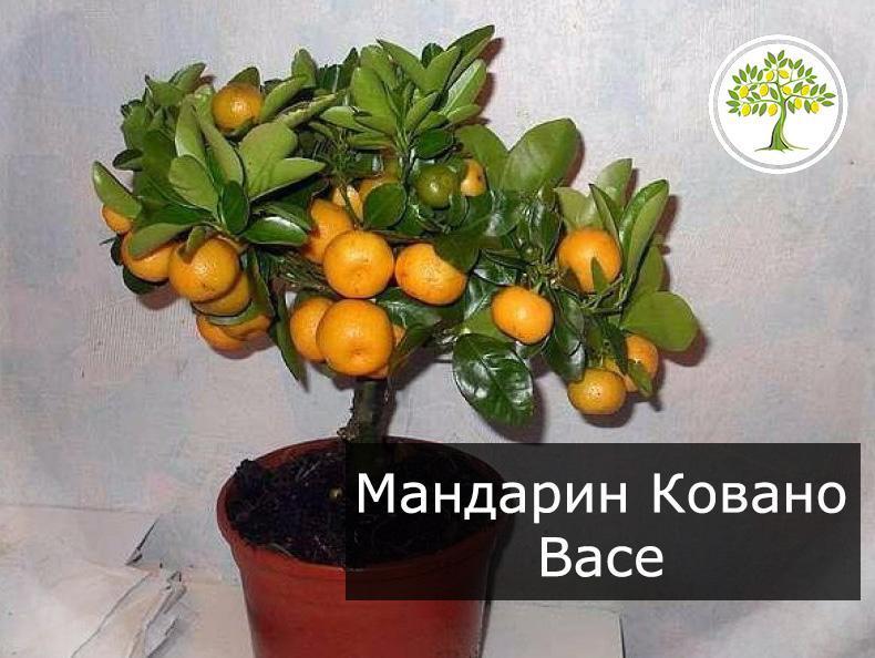Мандариновое дерево Ковано Васе фотография