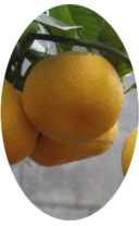 Ковано Васе комнатный мандарин плод