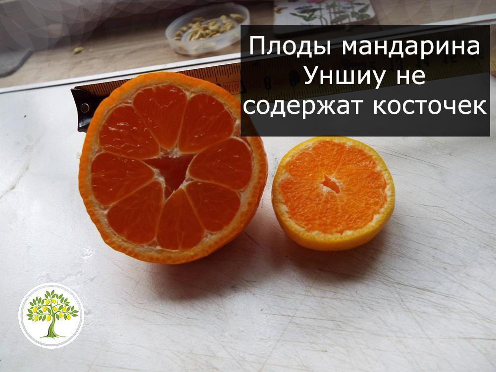Мандарин Уншиу плод фото в разрезе
