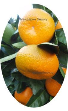 Плодоносящий мандарин Уншиу