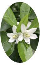 Мандарин Уншиу цвет фото