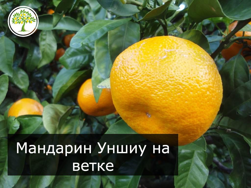 Плод Уншиу фото