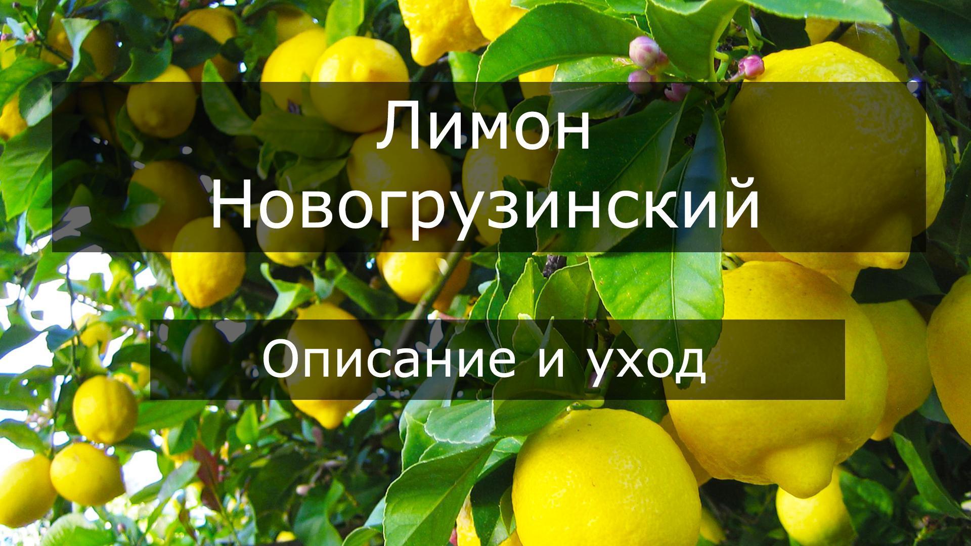 Описание лимона сорта Новогрузинский