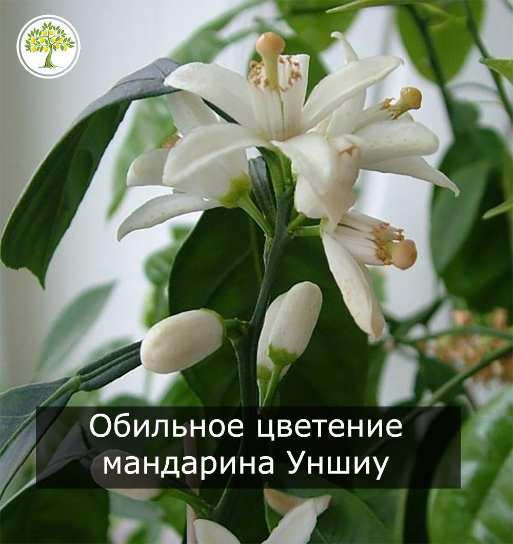 Мандарин уншиу - цветущая гроздь фото