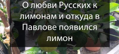 Павловские лимоны на Россия-24