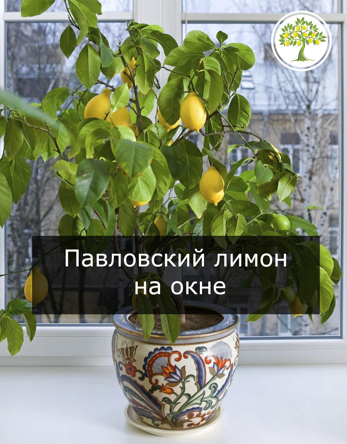Дерево павловского лимона в интерьере фото