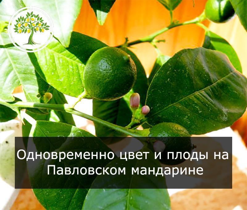 Павловский мандарин цветет