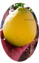 Плод лимона пандероза фотография