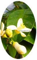 Цветение лимона пандероза дома