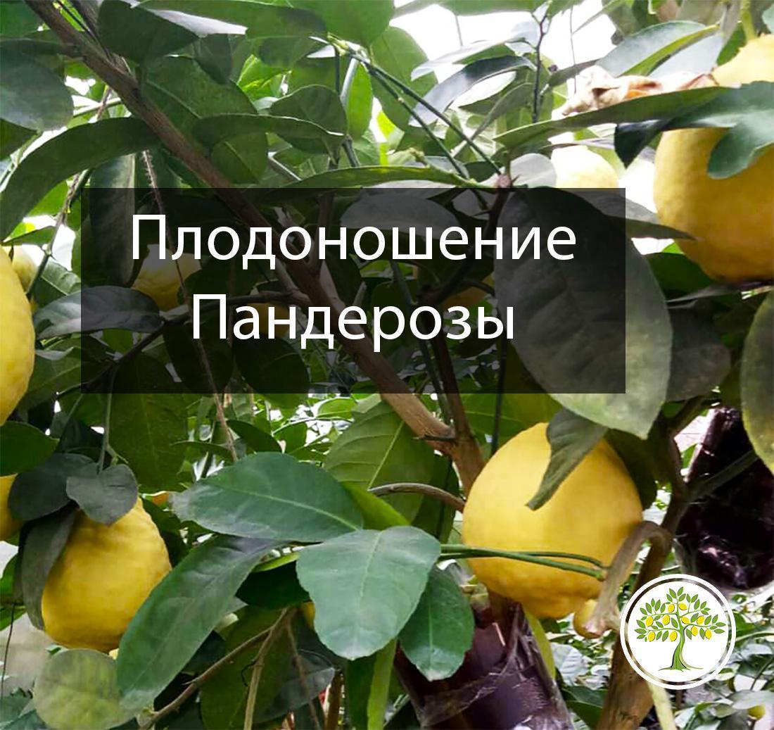 Плоды на комнатном лимоне Пандероза