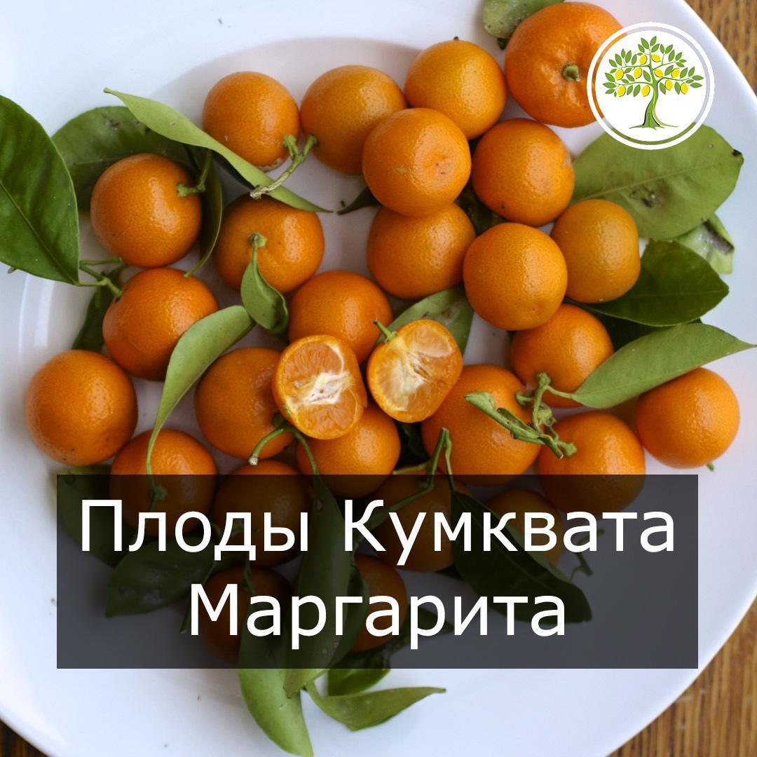 Плоды кумквата маргарита
