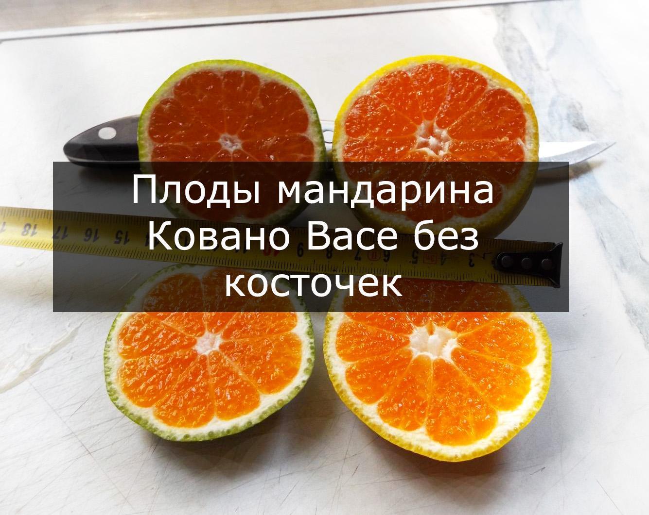 Плод комнатного мандарина Ковано Васе без косточек в разрезе фото