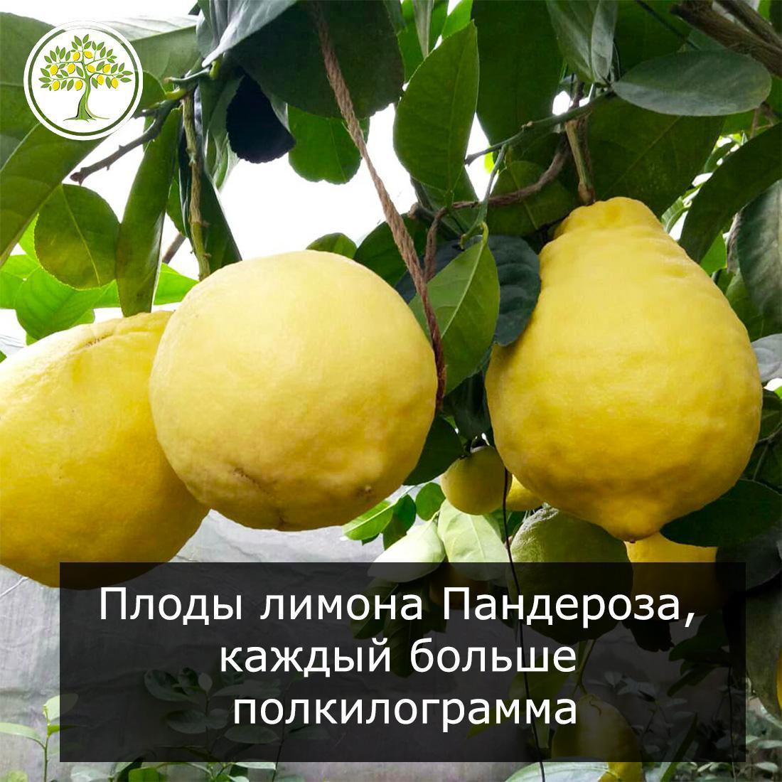 Лимон пандероза плоды на ветке фото