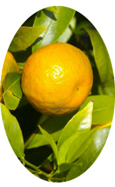 Плоды иволистного мандарина фото