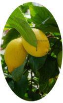 Хорошая подкормка для цитрусовых - залог урожая