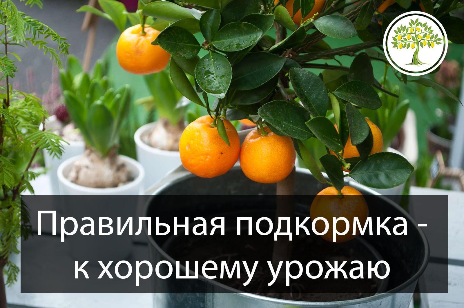 Правильно подкармливаем цитрусовые