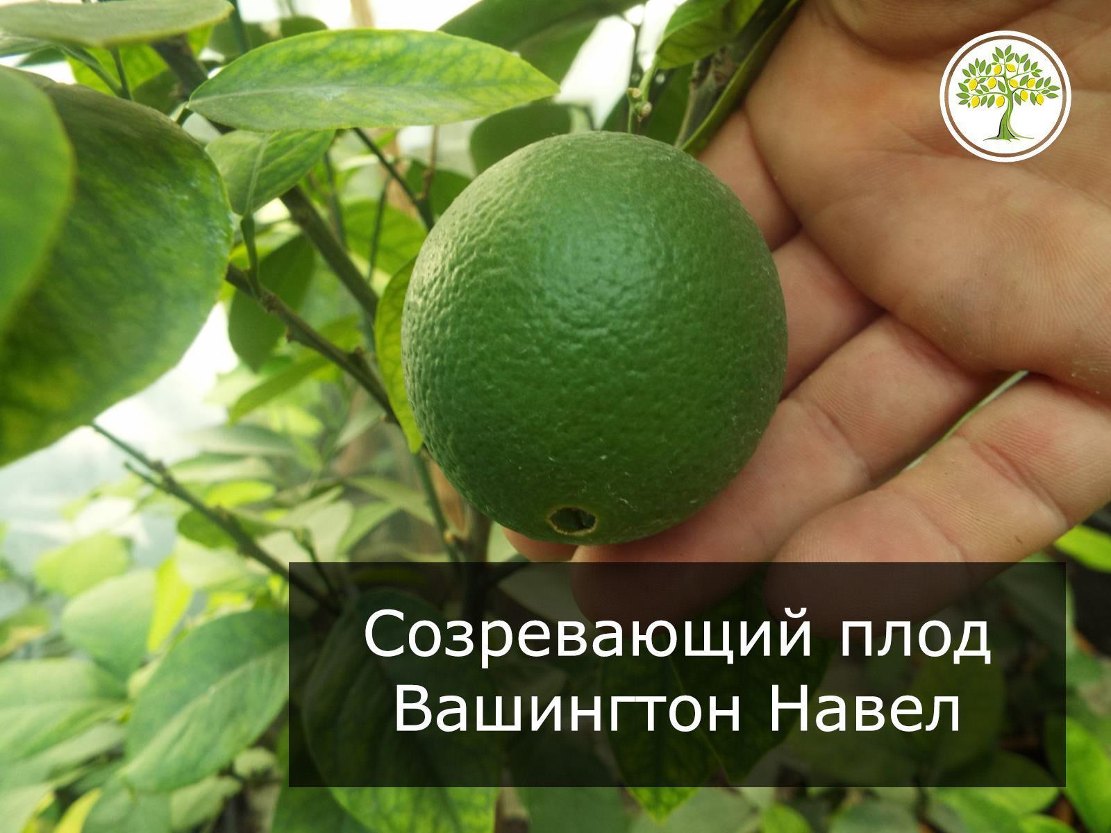 Зеленый апельсин