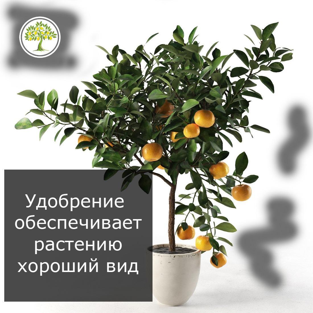 Здоровое дерево цитрусового растения подкормка