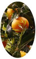 Хорошее удобрение для цитрусовых купить