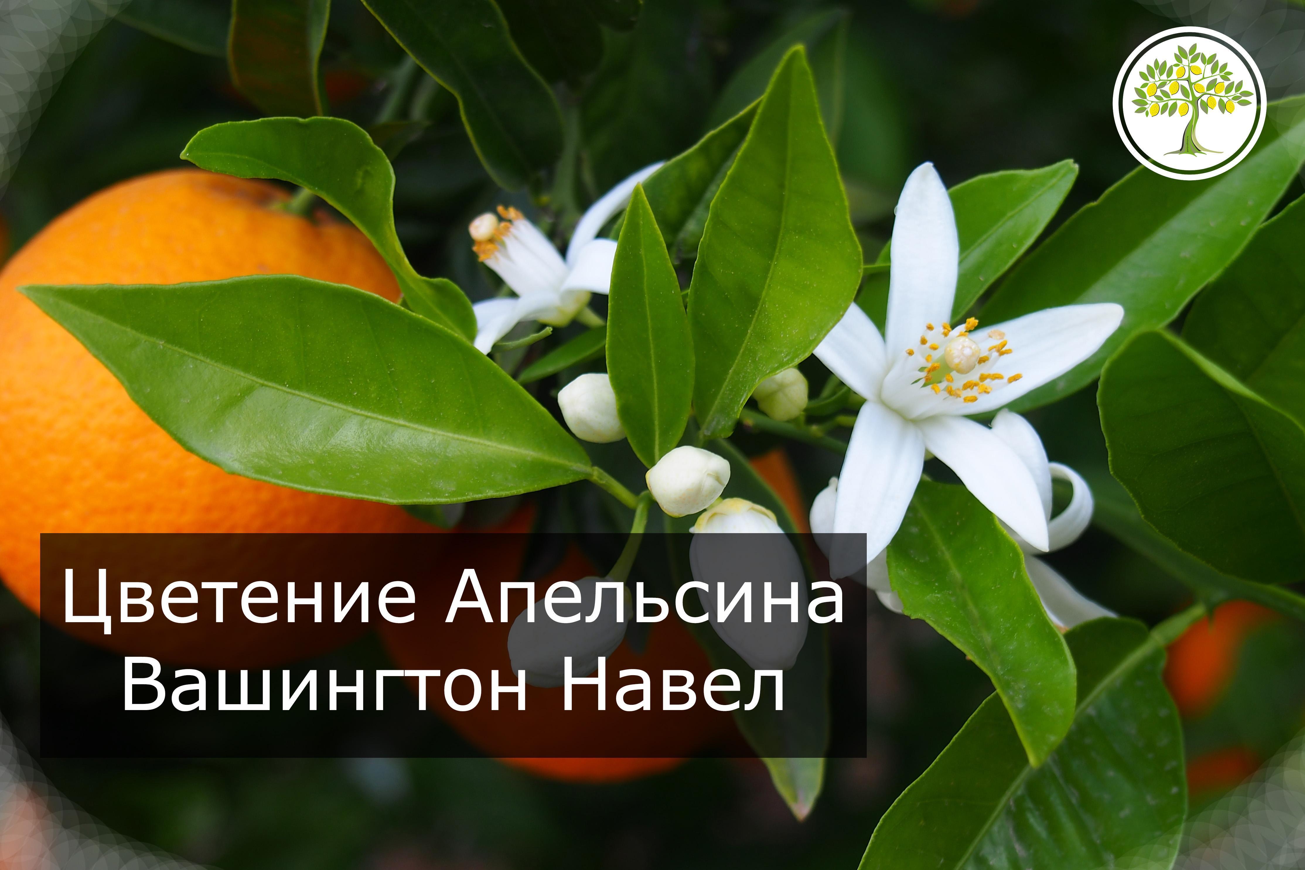 Цветение комнатного апельсина