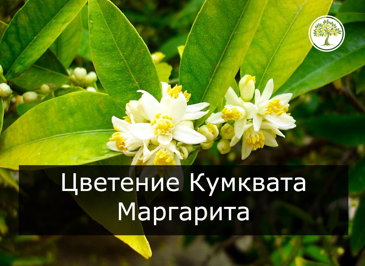 Кумкват Маргарита с цветом
