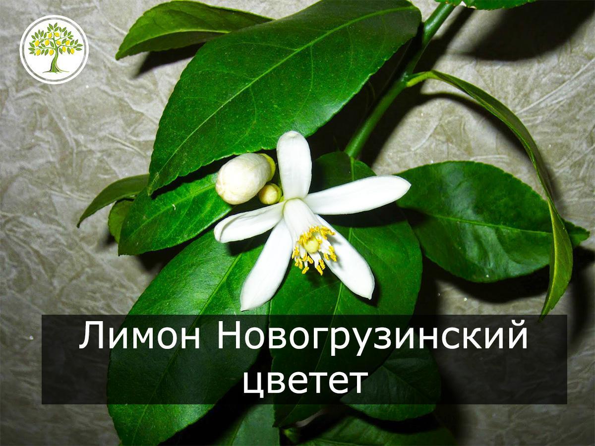 Цветущий Новогрузинский лимон фото
