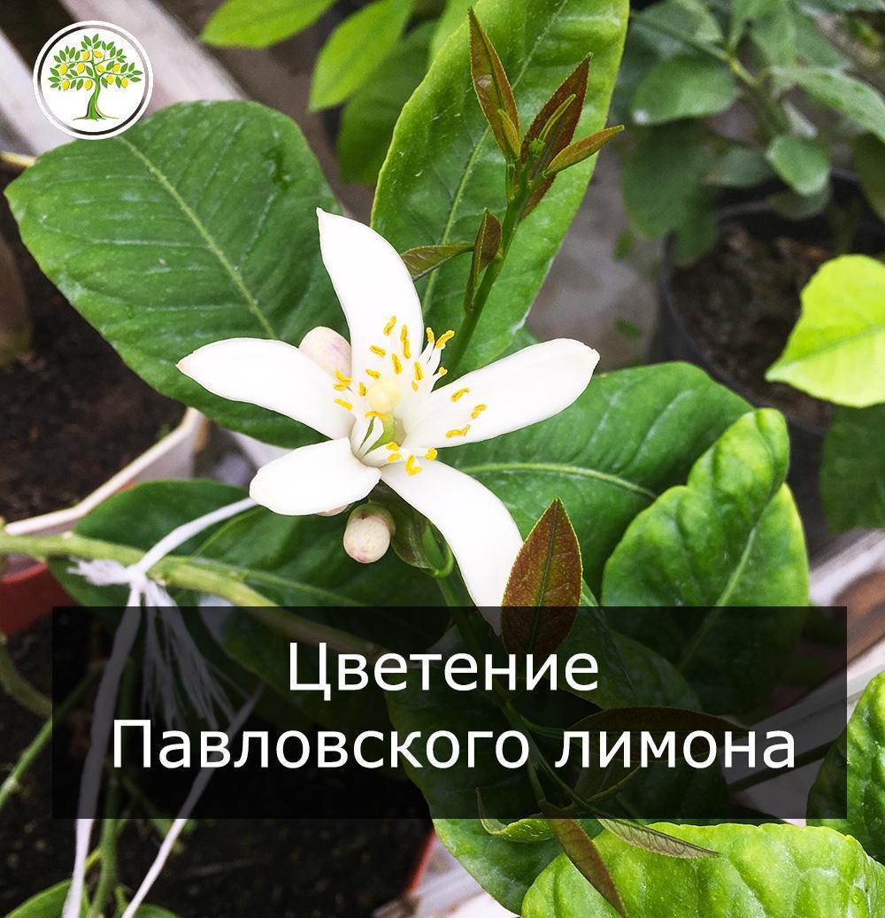 Павловский лимон цветет фото