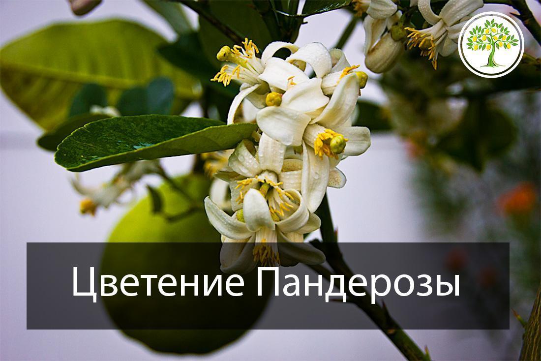 Цветение домашнего лимона гроздью