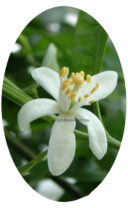 Цветение иволистного мандарина фото