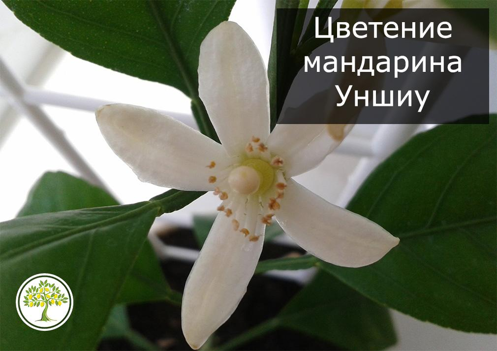 Цветок мандарина Уншиу фото