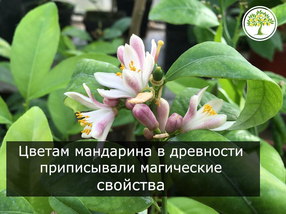 Павловский мандарин в цвету фото