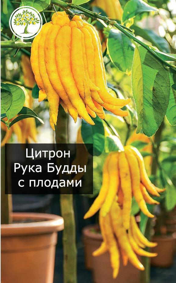 Цитрон Рука Будды дерево с плодами фото