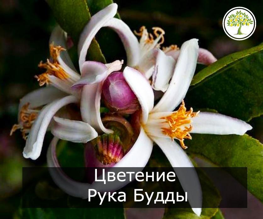 Цитрон Рука будды цвете фото