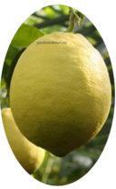 Плод лимона Юбилейный
