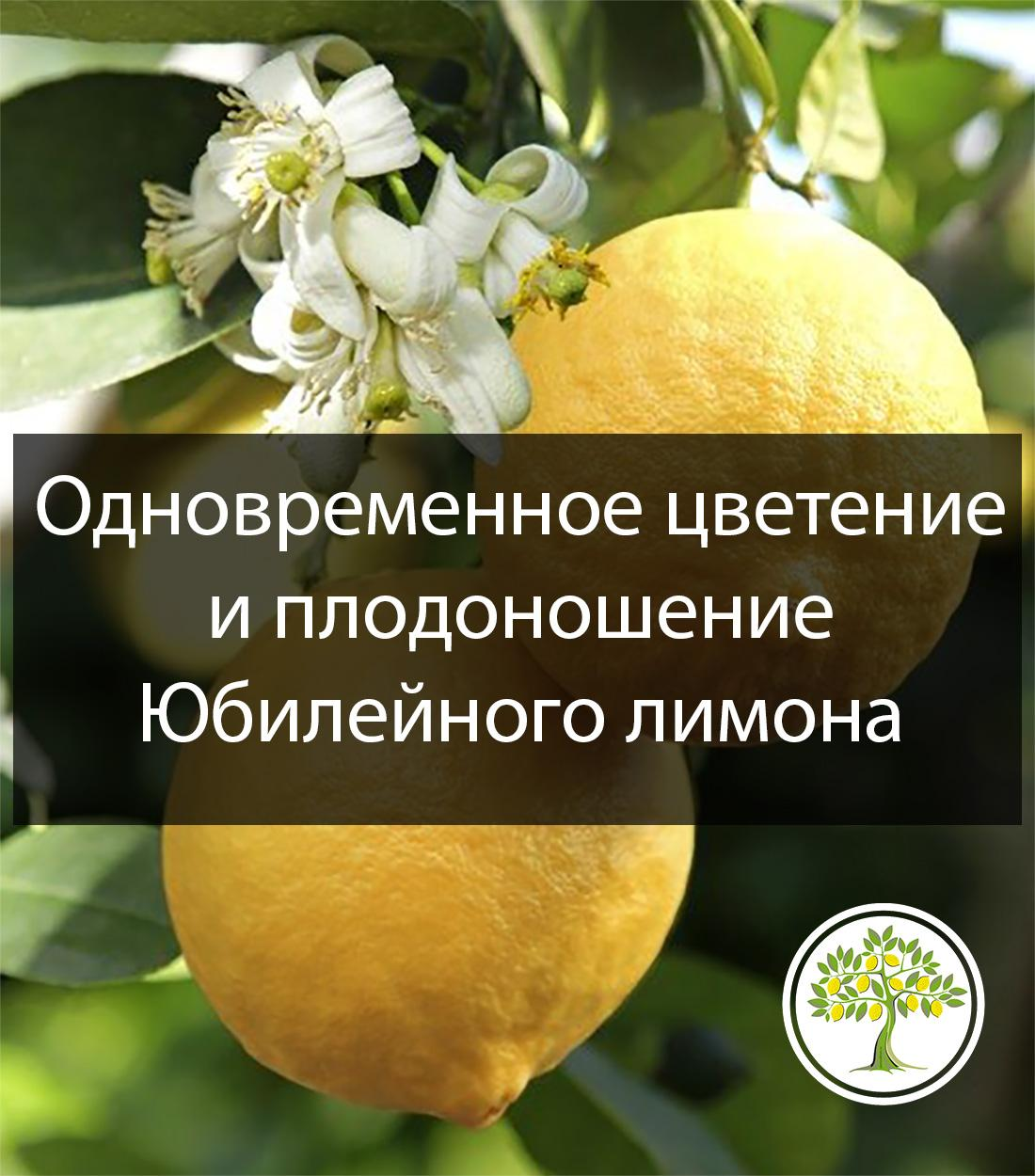 Лимон юбилейный с плодом фото