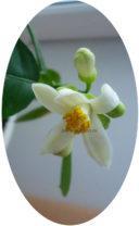 Соцветие лимона Юбилейного