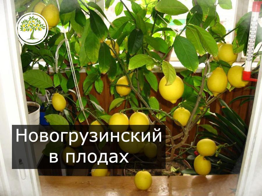 Новогрузинский лимон плодоносит на окне фото