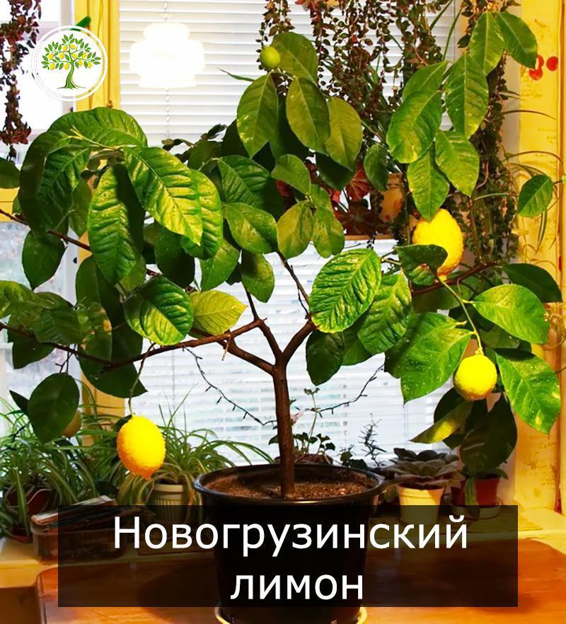 Новогрузинский лимон с плодами дерево фото