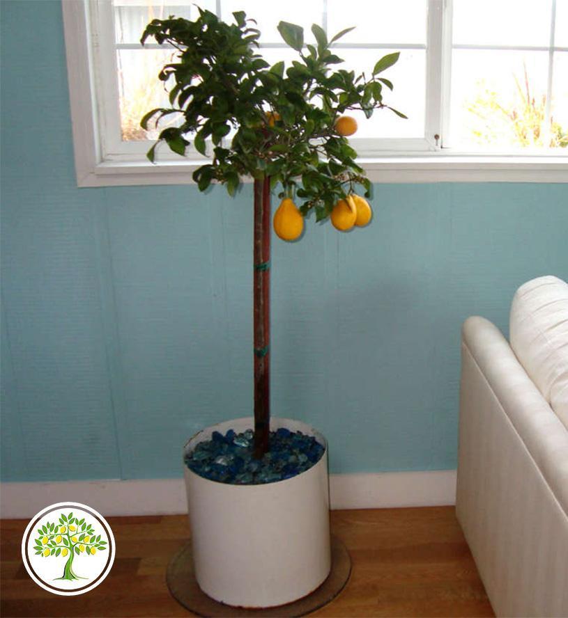 Высокое лимонное дерево для комнаты