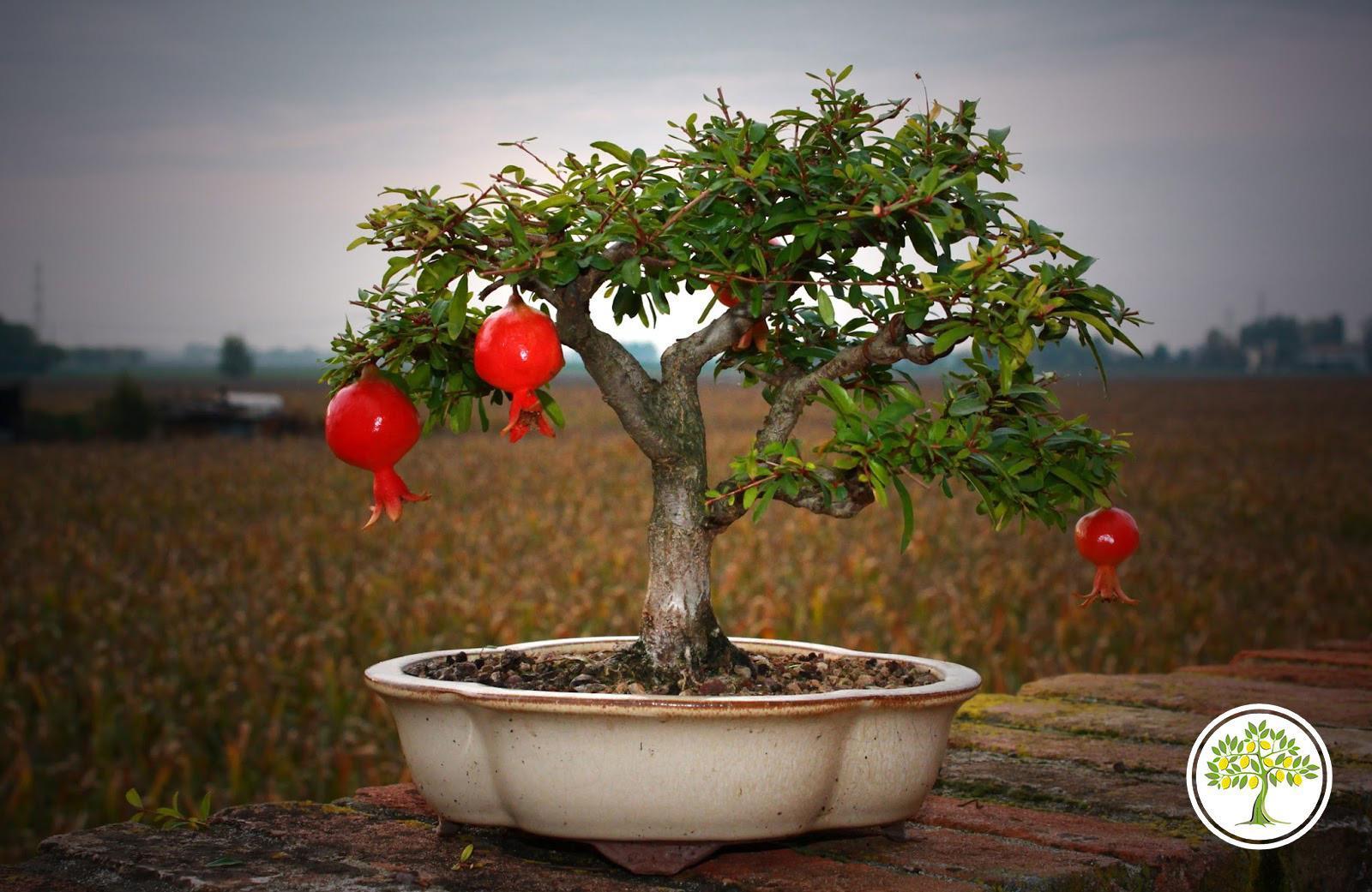 Карликовое гранатовое дерево
