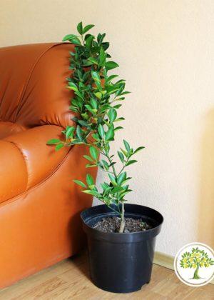 Домашний иволистный мандарин в интерьере фото
