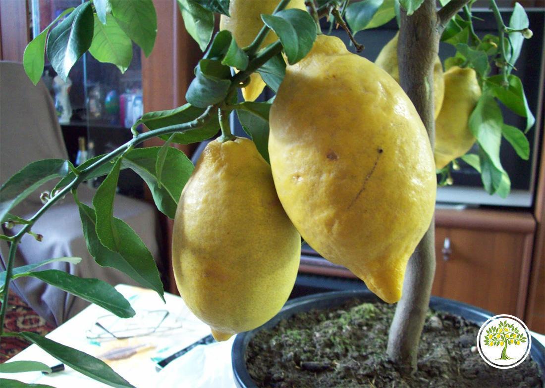 Комнатное цитрусове растение купить в питомнике