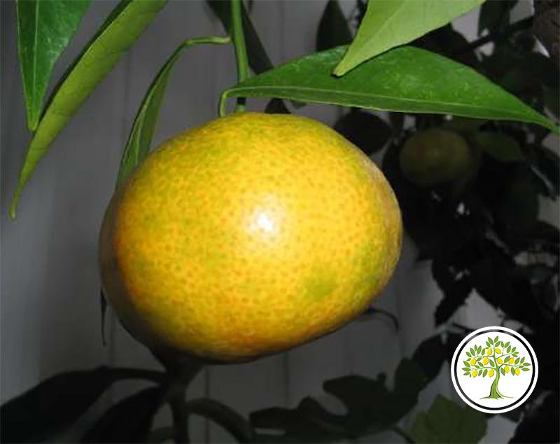 Плод комнатного иволистного мандарина фото