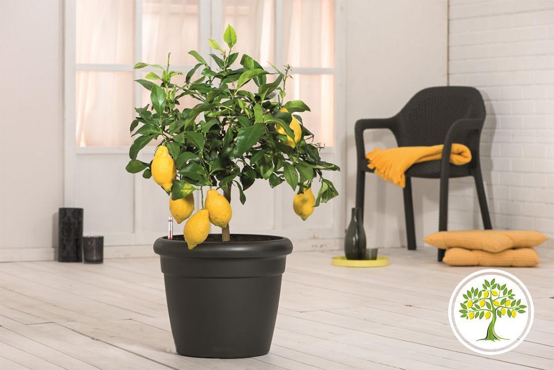 Красивый интерьер с лимонным деревом