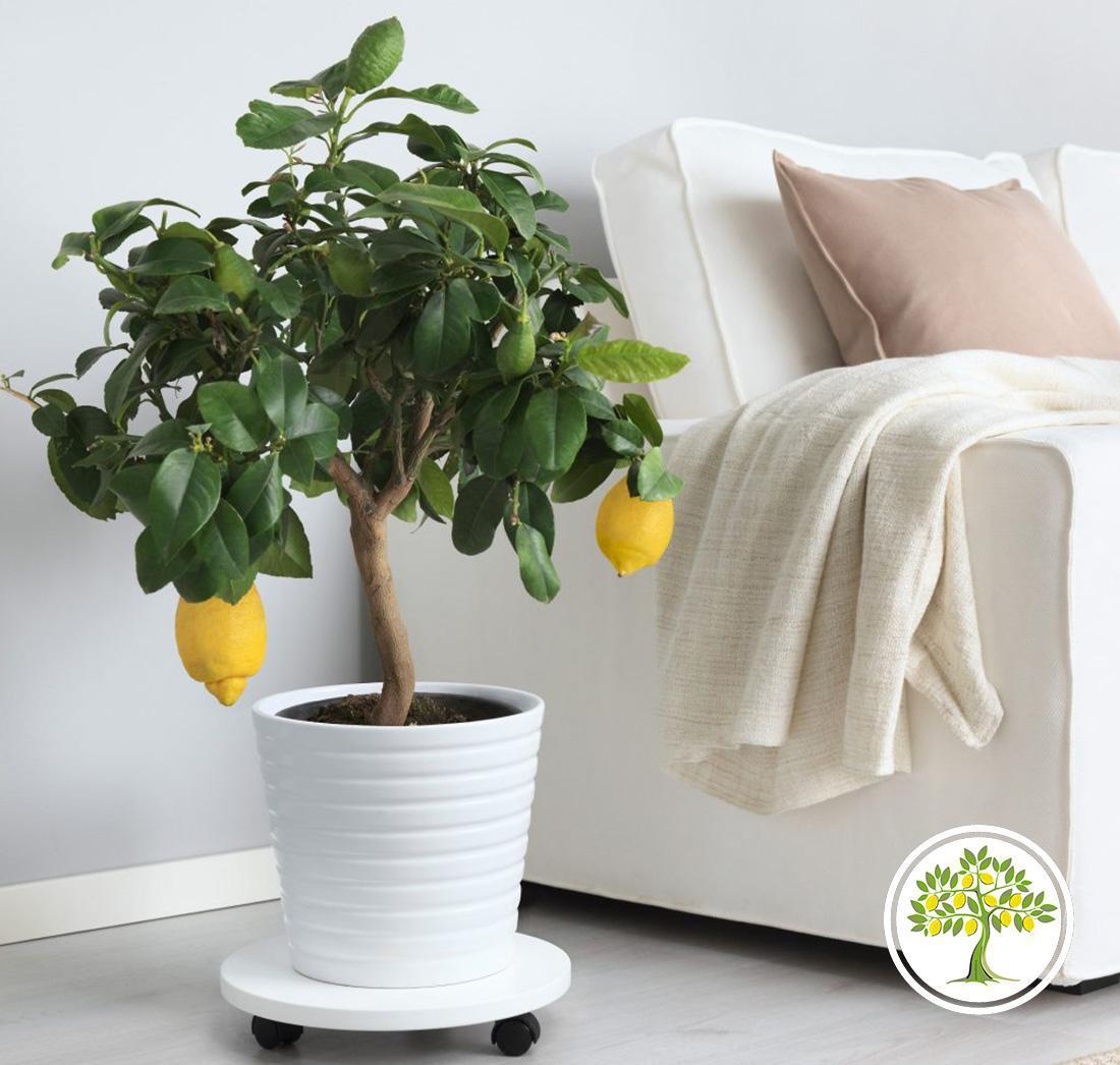 Лимонное дерево для дома фото